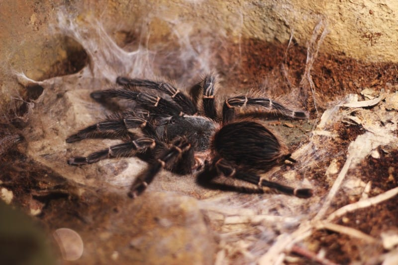 Are Tarantulas Insects or Animals