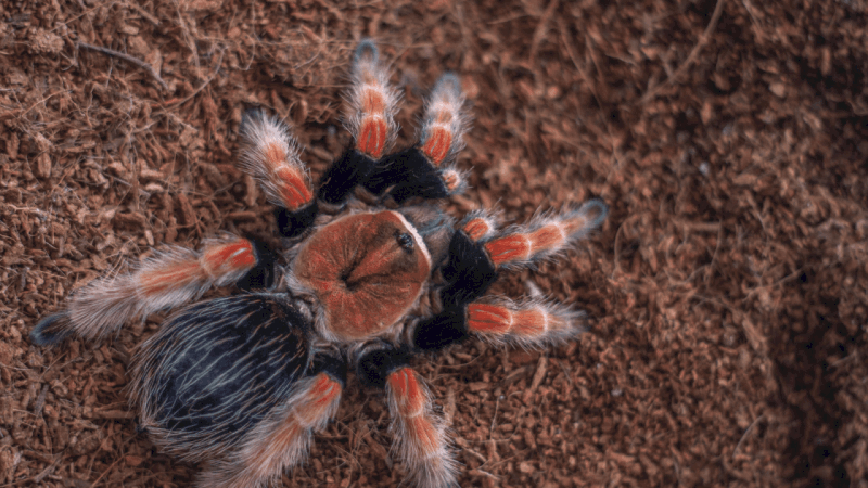 How Do I Know If My Tarantula Is Dying