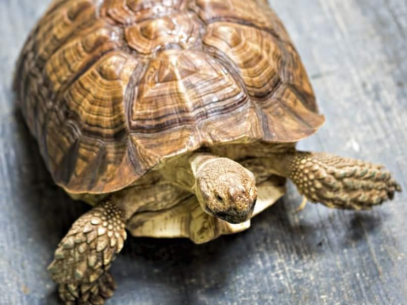 Do Tortoises Cry