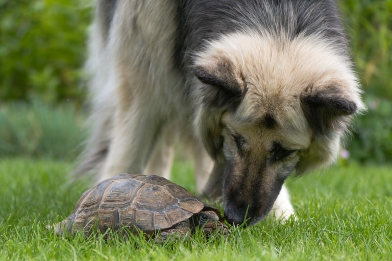 Can Tortoises Live With Other Pets
