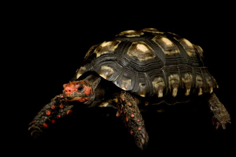 The Red-Footed Tortoise