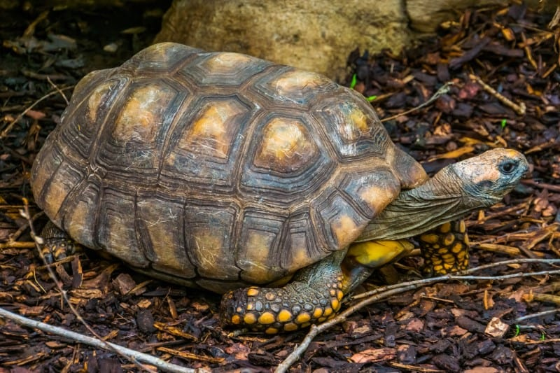 The Yellow-Footed Tortoise