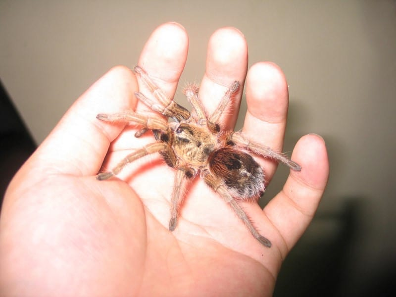 Chilean Gold Burst tarantula