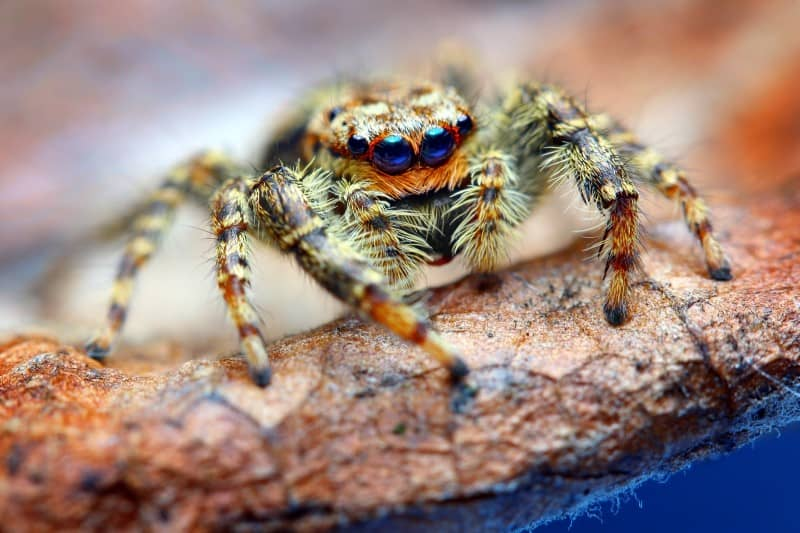 Do Jumping Spiders Bite