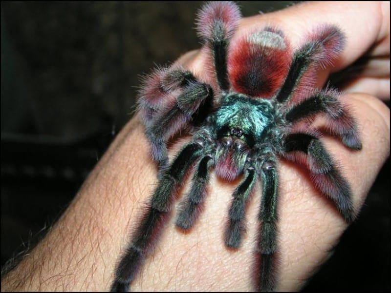 Martinique Red Spider