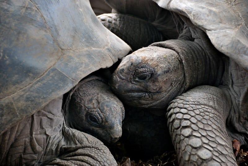 Why Do Tortoises Headbutt