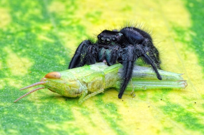 Feed Your Jumping Spider