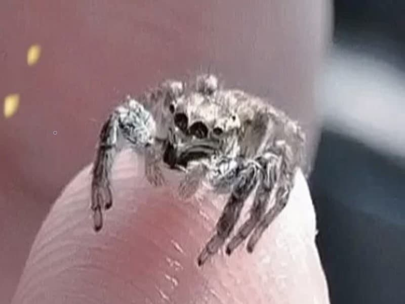Handling Your Jumping Spider