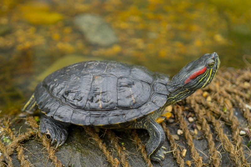 Turtles Go Without Water